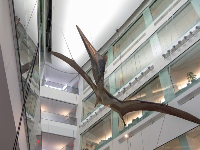 The Pterosaur hangs suspended in the new, modern Biological Sciences building atrium.