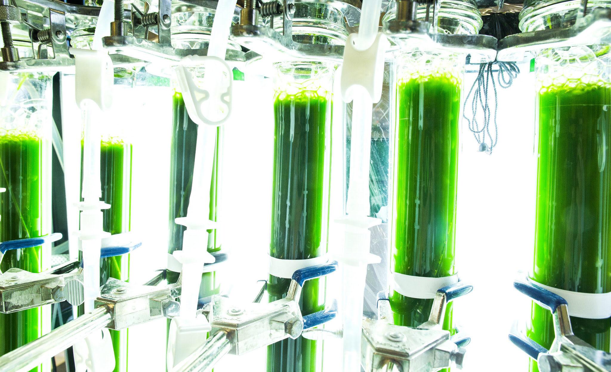 Tubes of algae